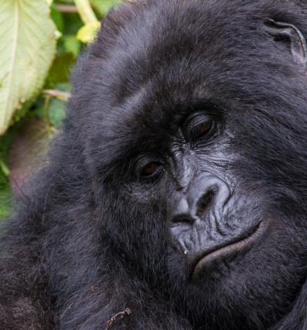 C Culbert Rwanda Mtn Gorilla 3