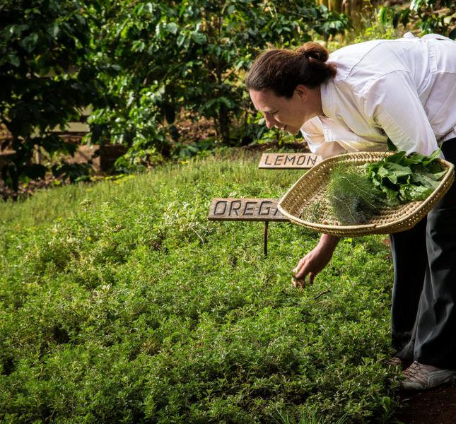 Gibbs Farm Picking Herbs