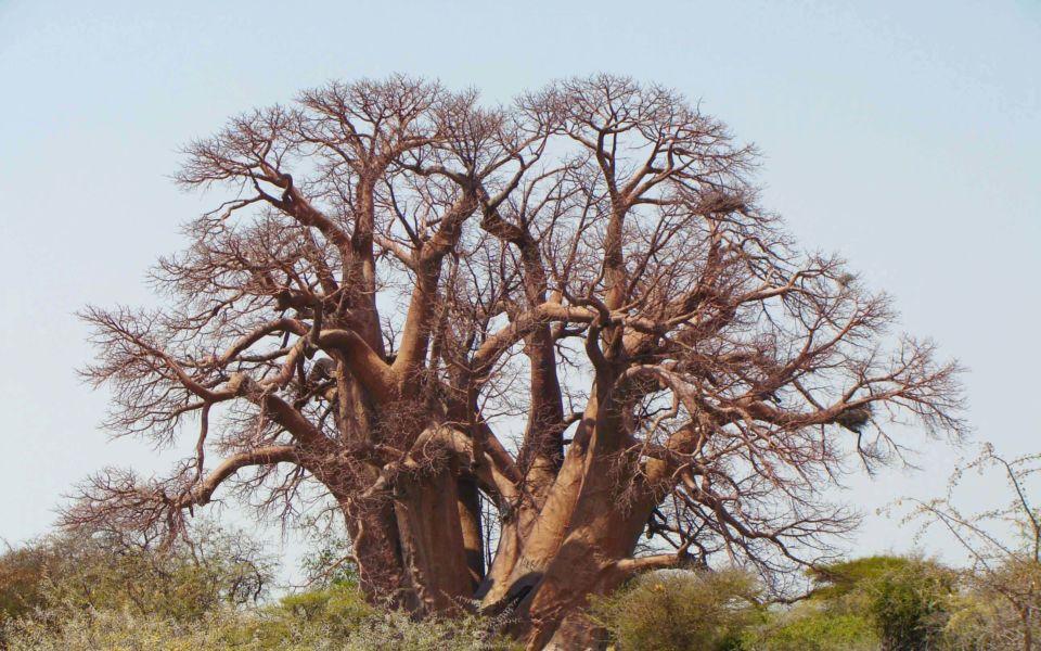 Chapmans Baobab 2