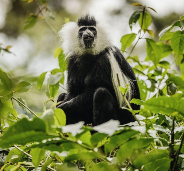 Colobus Monkey Cropped
